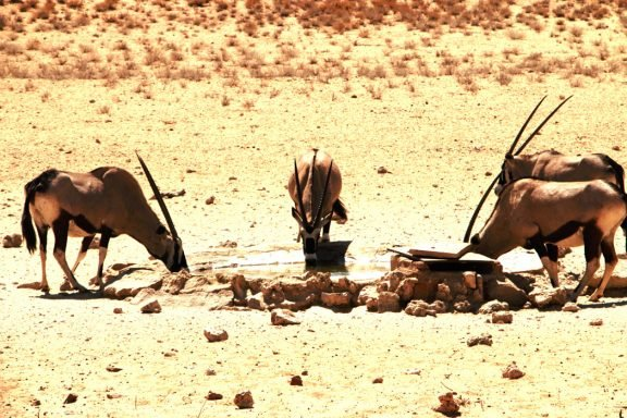 Gemsbok at a waterhole close to Mata Mata.