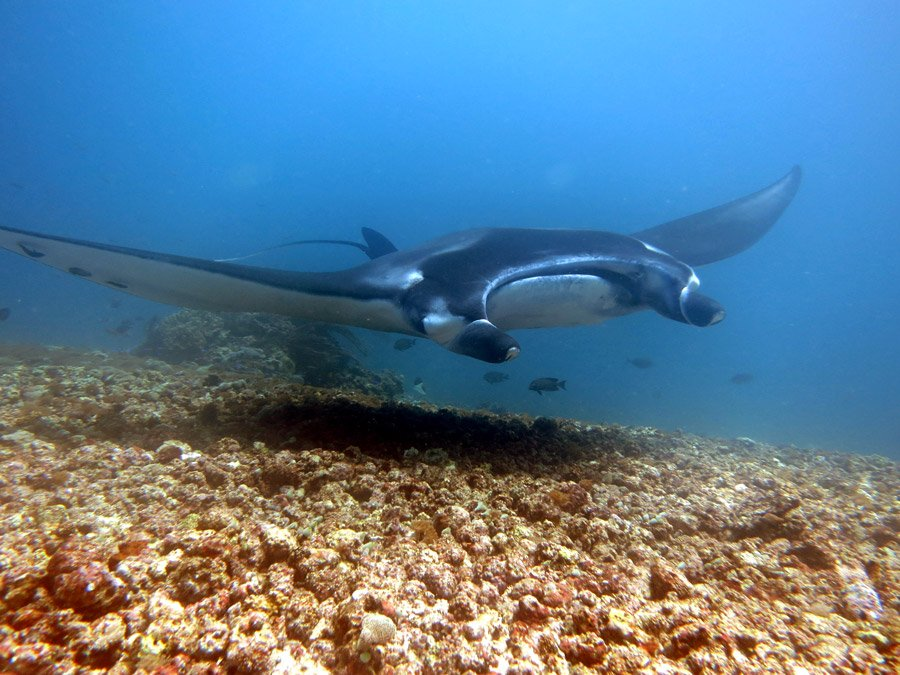 Beautiful manta at Manta Point, diving Komodo island, Indonesia
