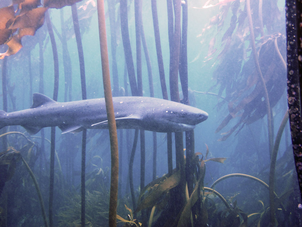 Diving with Seven Gill Cow Sharks at Pyramid Rock near Simonstown.