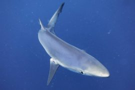 Blue shark during a pelagic dive
