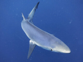 Blue shark during a pelagic dive