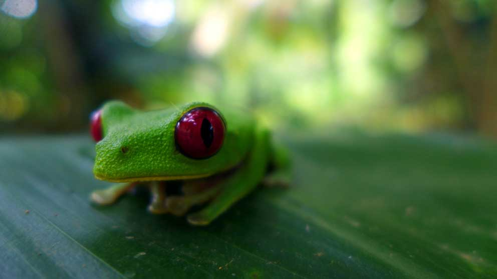 red eye tree frog Costa Rica stingy nomads