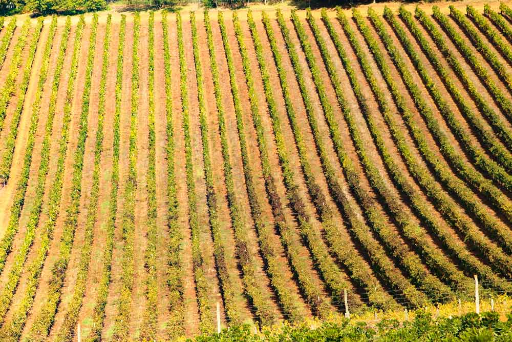 Vineyards around Stellenbosch, South Africa