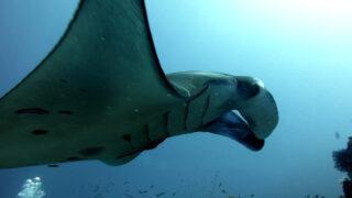 manta diving komodo