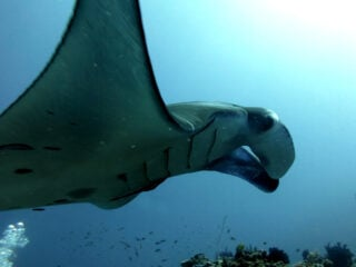 manta diving komodo