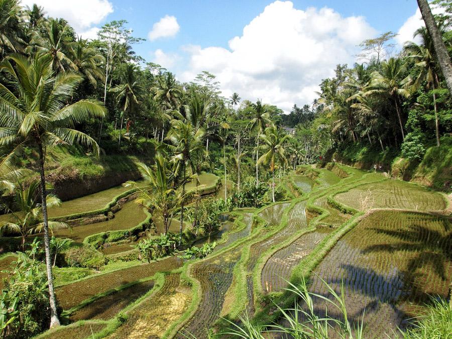 rice paddies around ubud stingy nomads