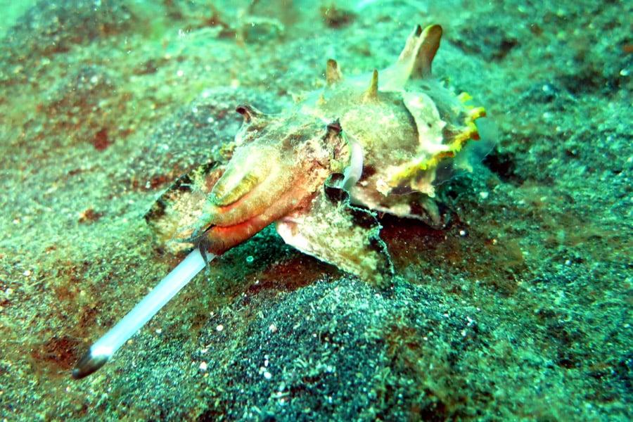 flamboyant cuttle fish