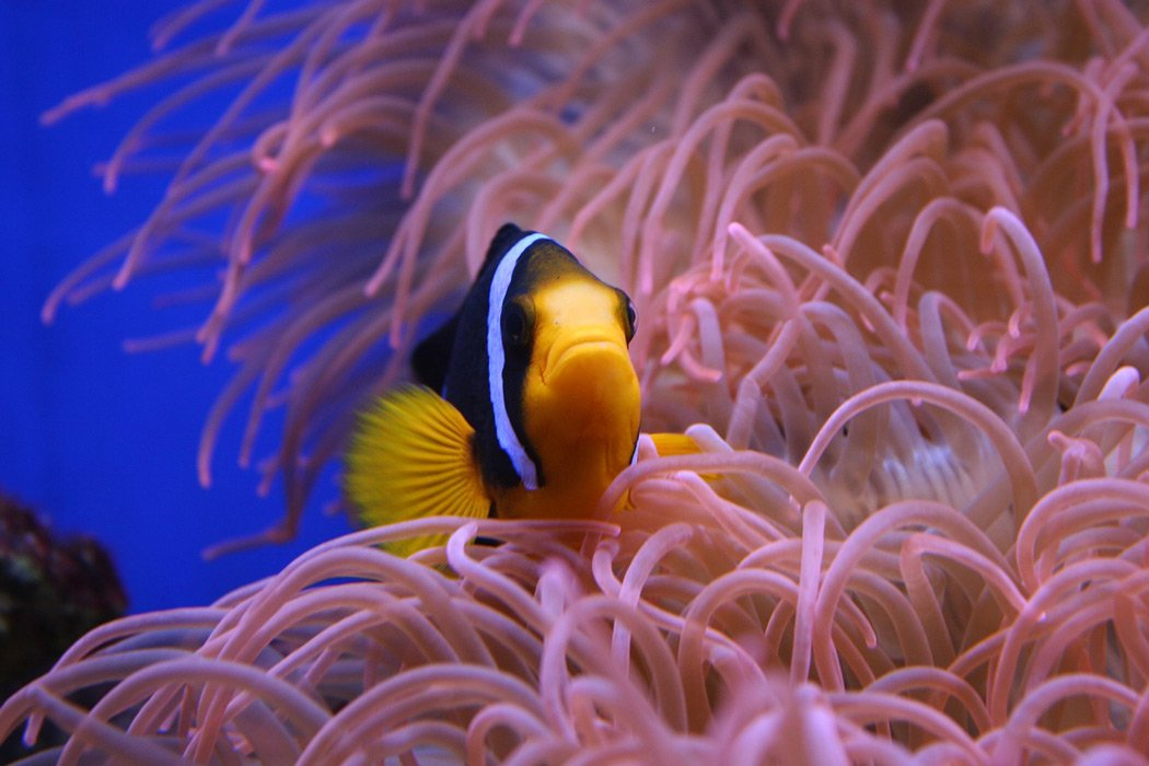 clown fish thailand