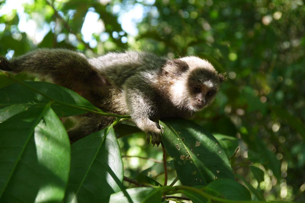 marmoset monkey, Pouso beach, Ilha Grande