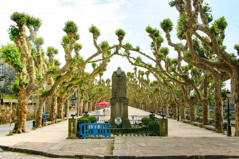 Bizarre trees on the main street in Padron, the last stage of the Camino Portuguese