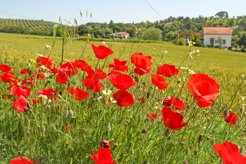 Fields covered in red poppies, Portugal countryside, Camino Portugues