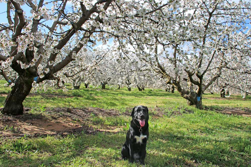 Cherry trees in blossom at Klondyke cherry farm near Ceres