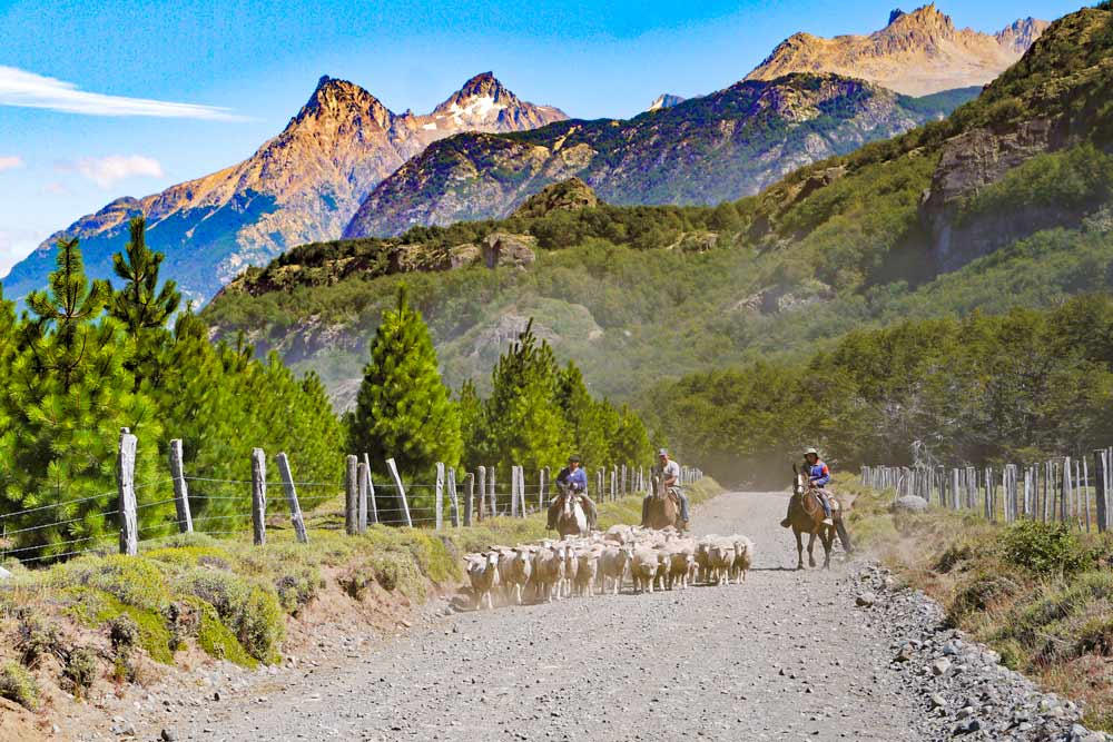 Chilean Gauchos riding horses and many sheep on the gravel road