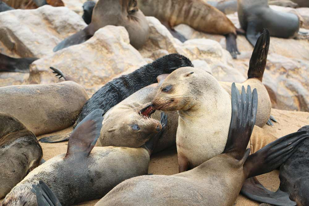 Cape Seals sleeping on the rocks