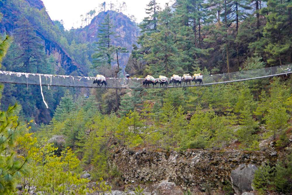 A group of yaks on the suspension bridge just before Jorsalle, Nepal