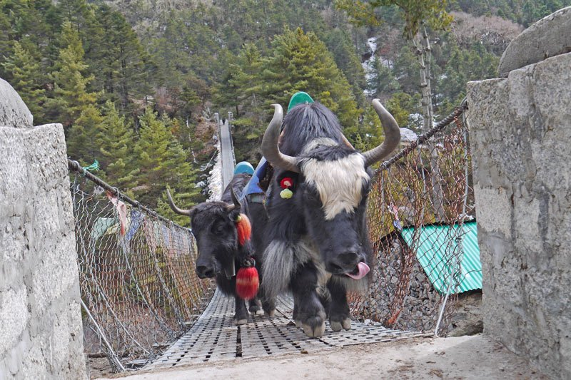 Yaks on a bridge going to EBC