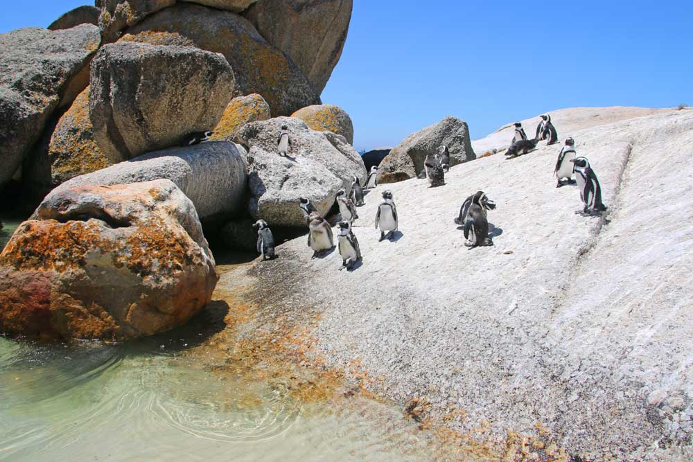 African penguins at Boulders Beach in Simon's Town. Not to miss in Cape Town