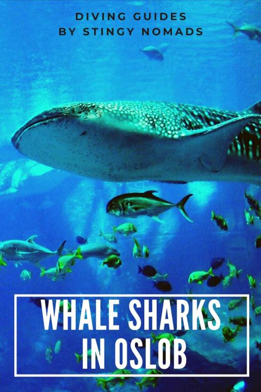 Whale sharks in Oslob Philippines pin