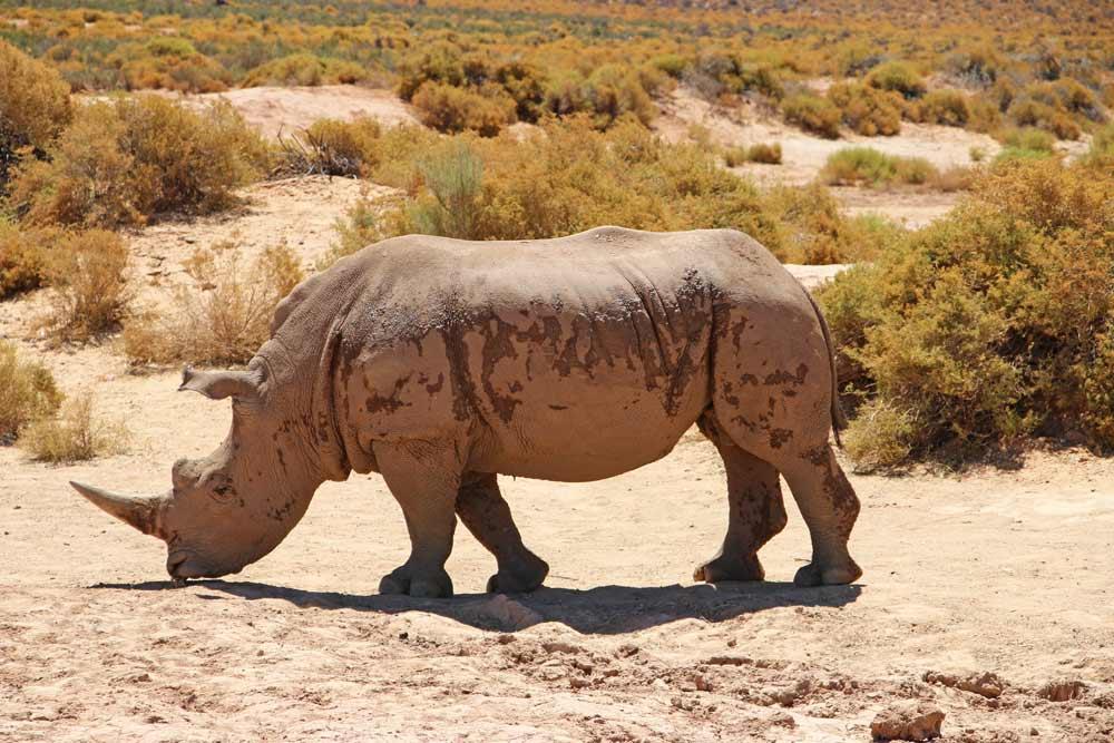 A rhino at Aquila Game Reserve near Cape Town