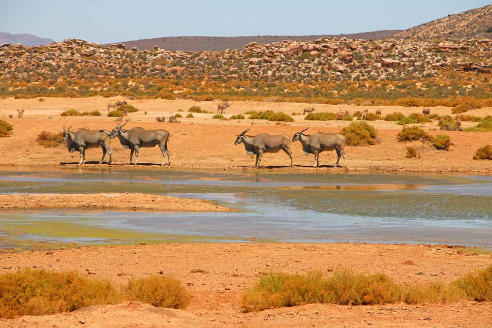 African antelopes at Aquila Game Reserve