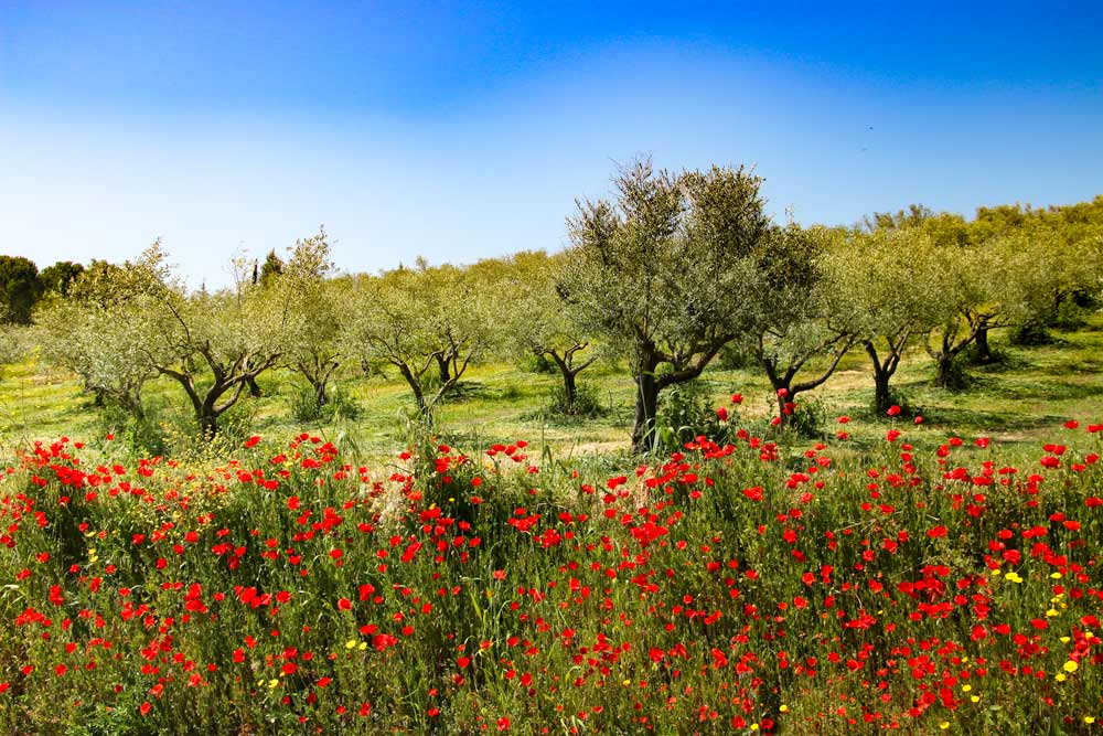 Olive trees and flowers in spring