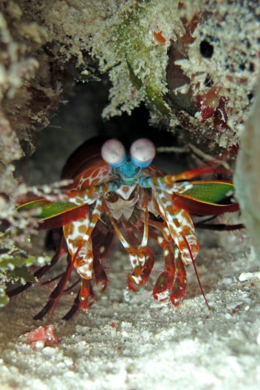 Mantis shrimp Bira diving
