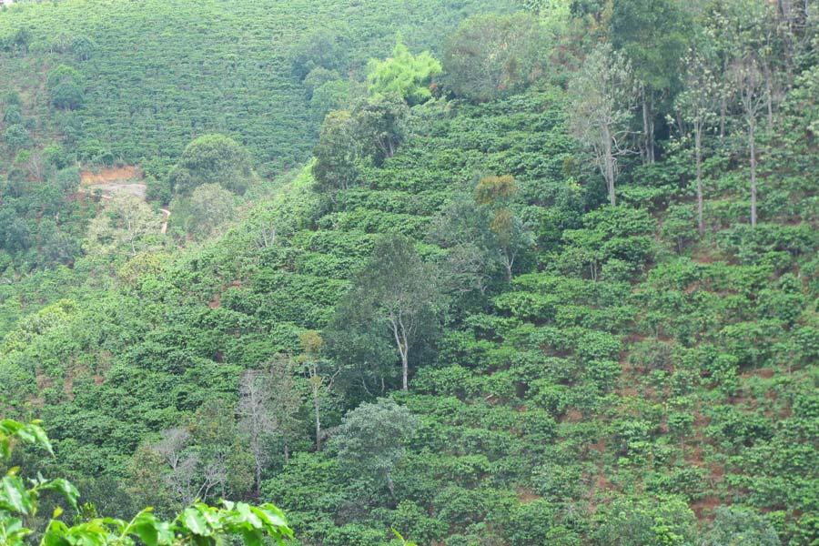 Coffee plantations dalat