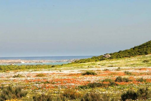 A flower field along the coast of Namaqualand
