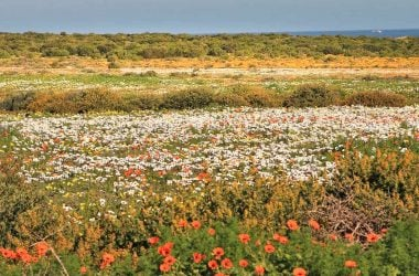Colorful carpet of spring flowers in Namaqualand