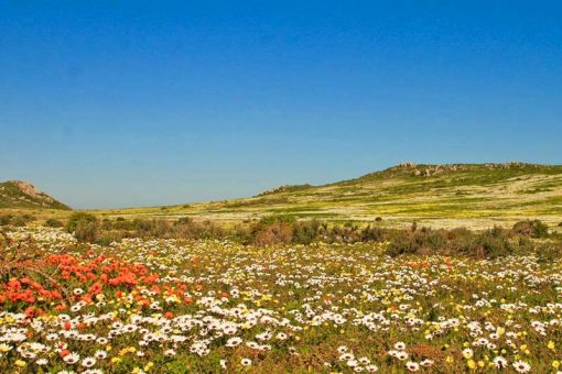 Spring flowers cover Namaqualand in spring