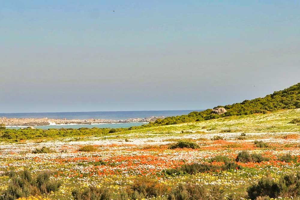 Fields covered in flowers along the coast of Namaqualand