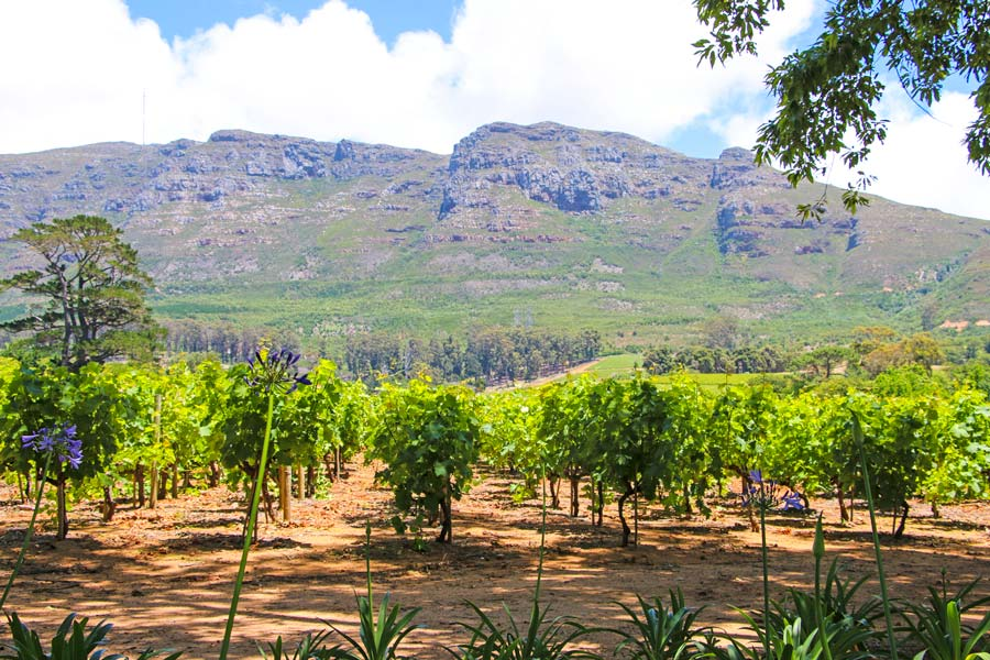 The beautiful vineyards of Klein Consantia estate.