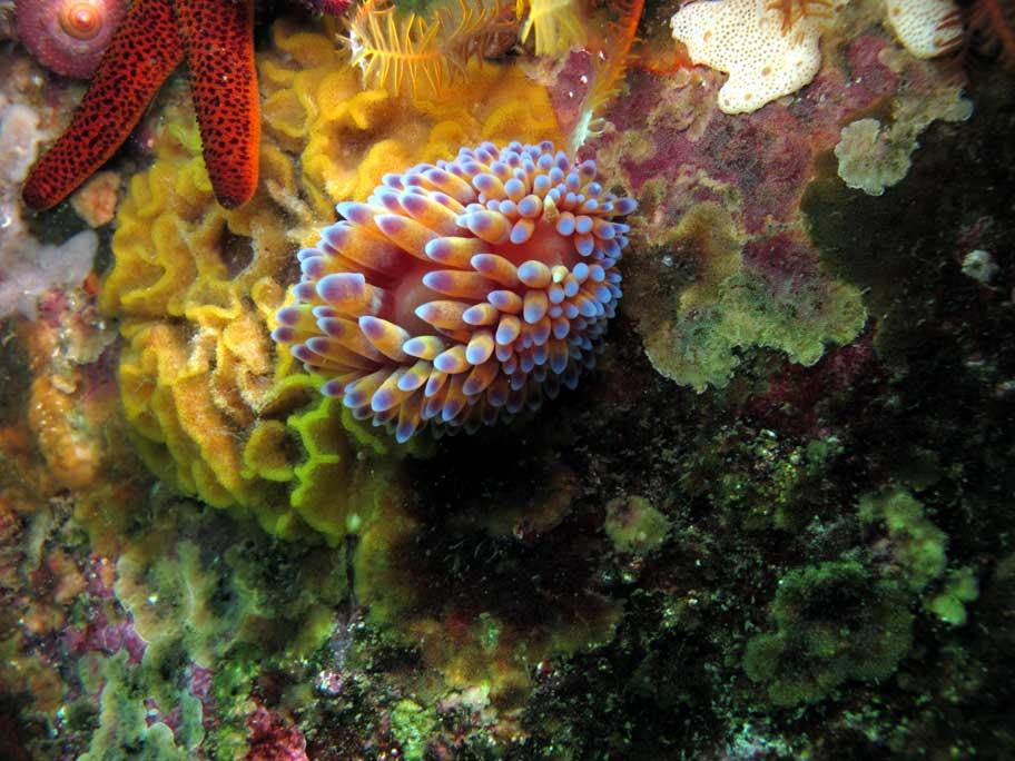 Gas flame nudibranch diving in False Bay