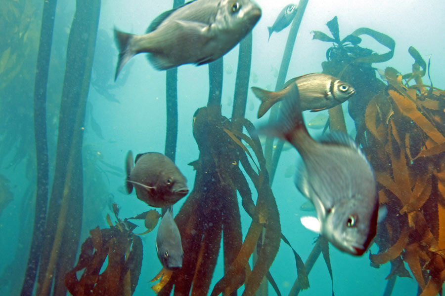 Hottentot is the most common fish in the Kelp Forest diving on the Atlantic side of Cape Point.