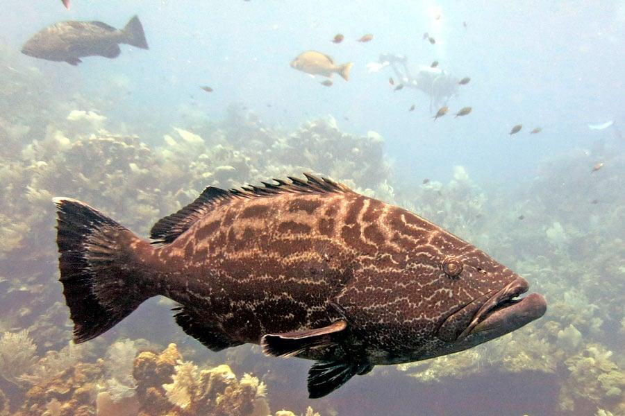 Scuba diving roatan big grouper
