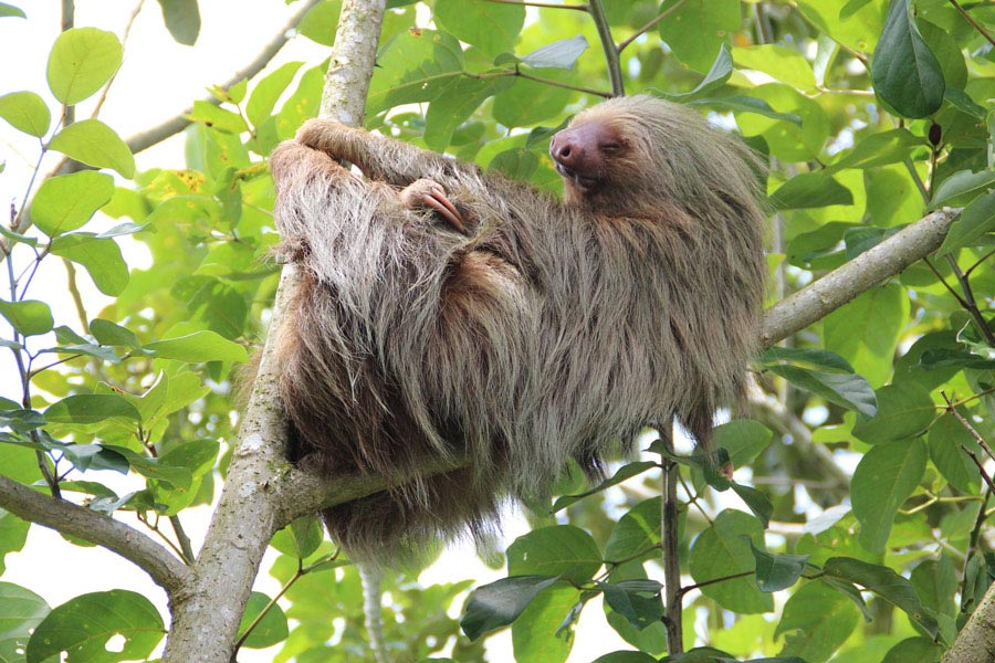 Sloth in the Cloud Forest Costa Rica.