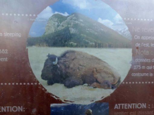 Buffalo mountain sign Banff