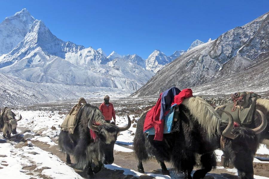 yaks carrying supplies to EBC